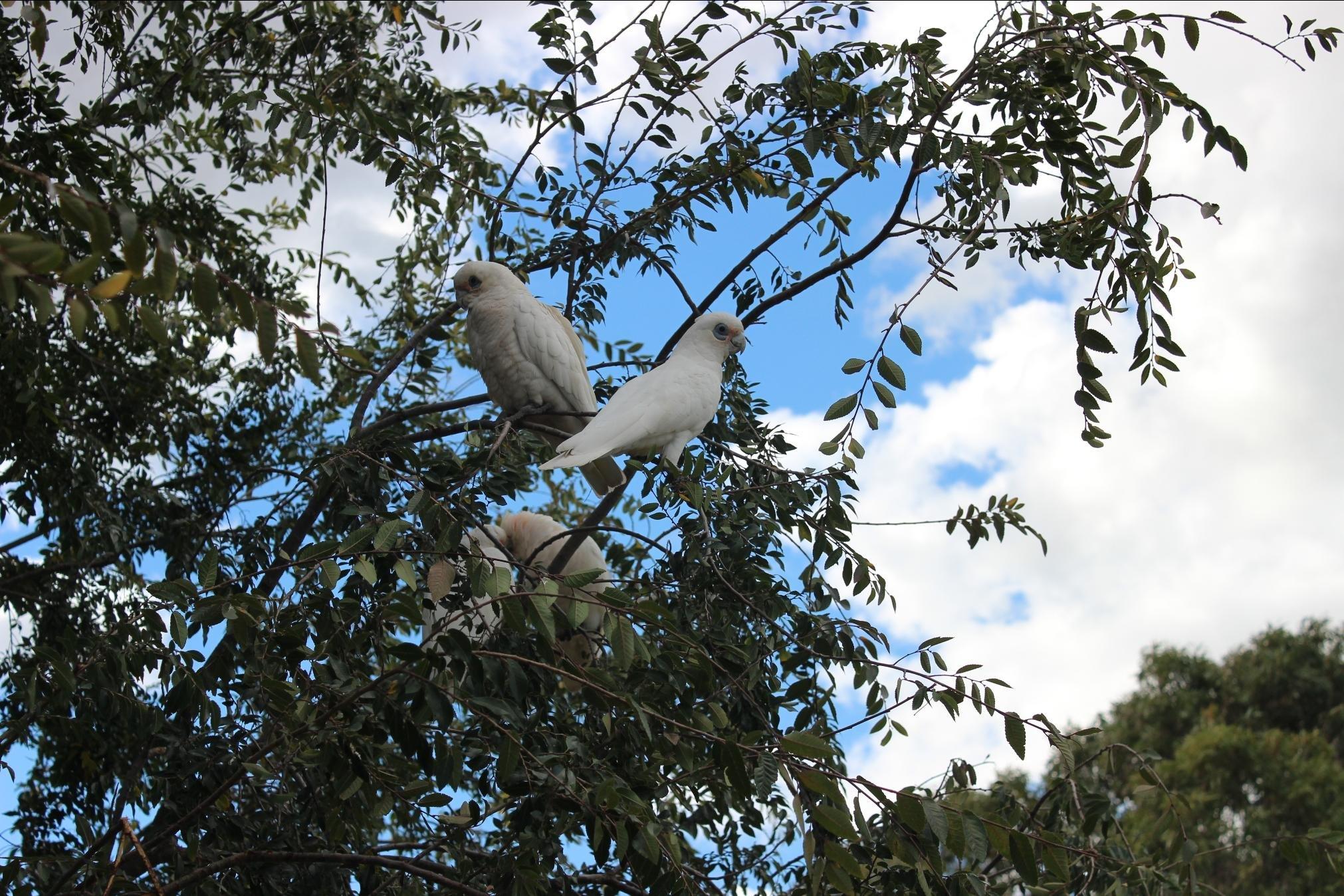 Tanimbar Corella birds