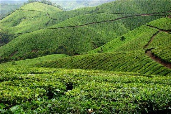 java malabar thee