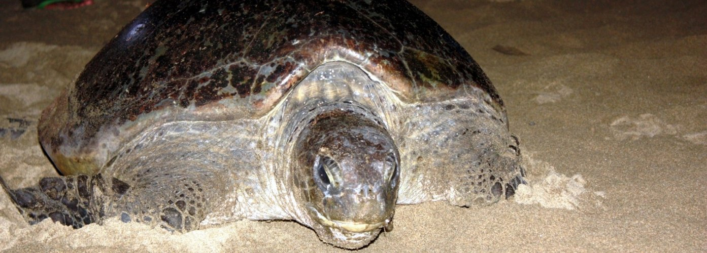 Sukamade turtle