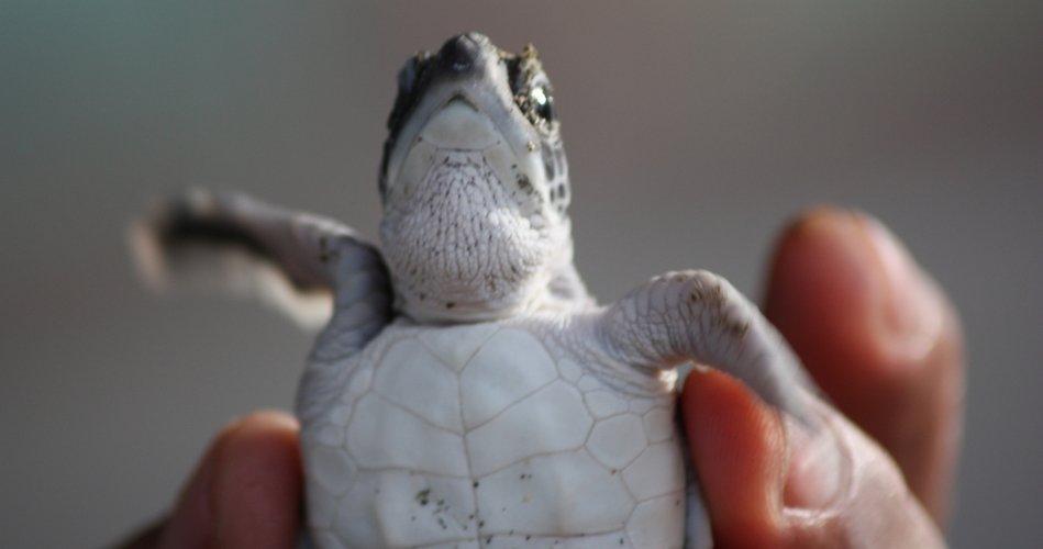 Sukamade baby turtle