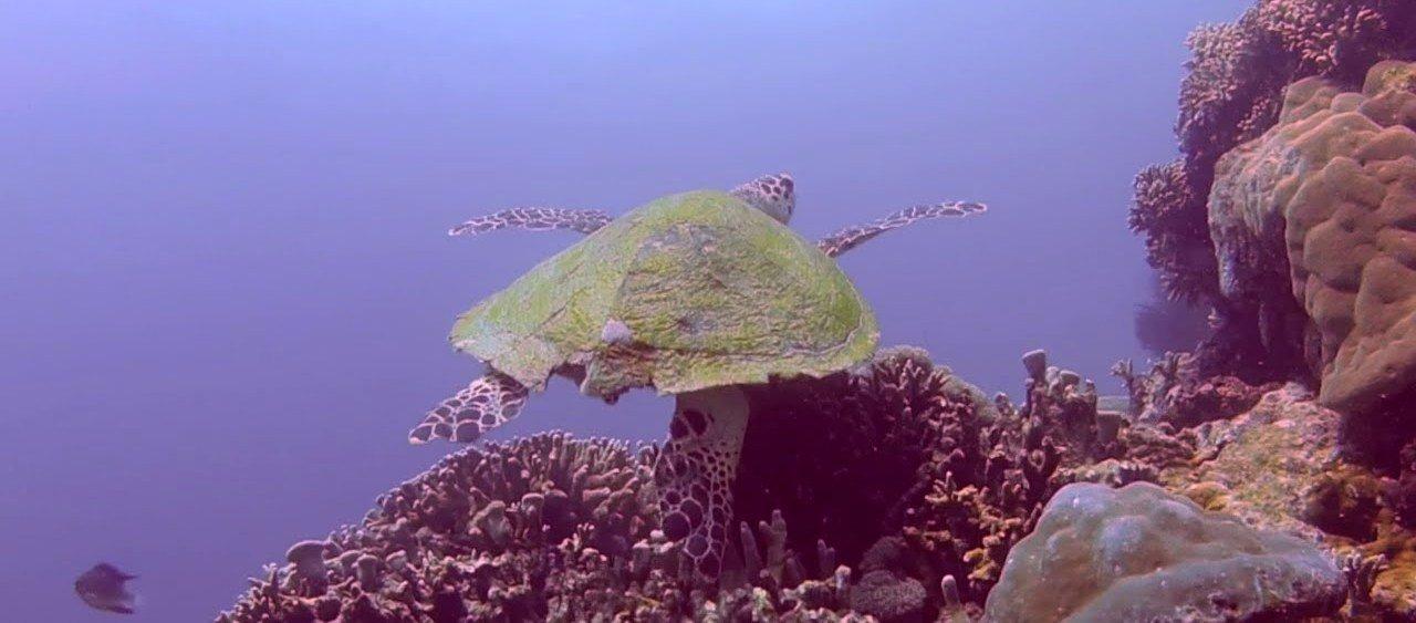 Menjangan turtle